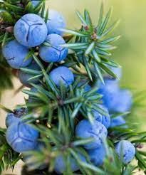 Juniper Trees - Juniperus communis   Trees to Plant