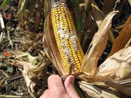 Corn Earworm Control Corn Earworm European Corn Borer Fall Armyworm Or Western