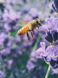 Propolis - Bee Health Propolis - Bees
