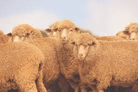 Goat Lice Wool Production Biting Lice Chew Into Profits From Your