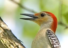 aka bird nerd acirc woodpeckers red bellied woodpecker claude radley
