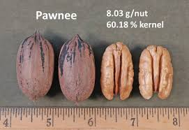 Pecan Size Chart Comparison Of Different Pecan Trees Perfect Plants Nursery