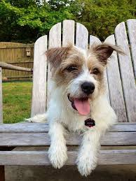 wire hair terrier mix breeds. Wonderful Breeds My Baby Girl Wire Haired Jack Russell Terrier Mix Breed Check Out Her  Instagram Page For More Great Pics Asta_N_Cooper And Hair Terrier Mix Breeds A