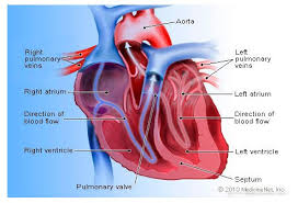 Cardiac Anatomy Chart How The Heart Works Human Heart Diagram Blood Flow To The