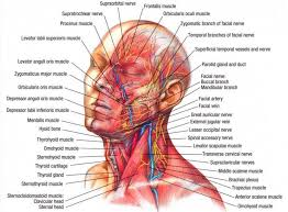 Neck Muscle Chart Nerves Muscles Of The Head Neck Muscle Anatomy Muscle