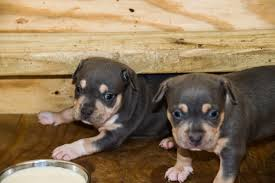 pitbull dog puppies.  Dog Pitbull Adoption U0027 To Dog Puppies I