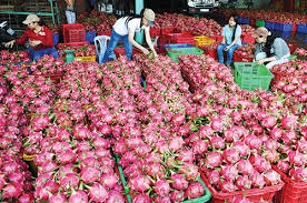 Image result for DRAGON FRUIT FARMING INDIA