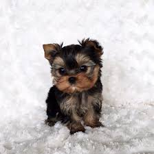 micro teacup yorkie puppies for sale. Wonderful For Micro Teacup Yorkie Puppy For Sale On Puppies For Sale IHeartTeacups
