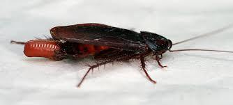American Cockroach Periplaneta Americana Linnaeus Smokey Brown
