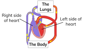 Double Circulation Flow Chart What Is The Double Circulatory System Definition From