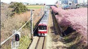 三浦 半島 河津 桜