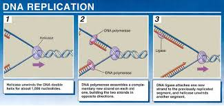 Simple Dna Replication Steps Diagram Enthusiast Wiring Diagrams