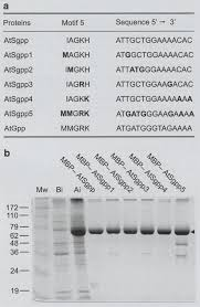 The kinetic analysis of the substrate specificity of motif 5 in a HAD  hydrolase-type phosphosugar phosphatase of Arabidopsis tha