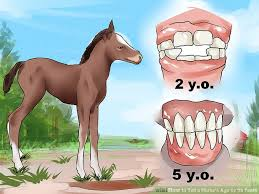How To Tell A Horses Age By Its Teeth With Pictures Wikihow
