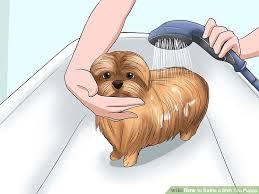 image led bathe a shih tzu puppy step 7