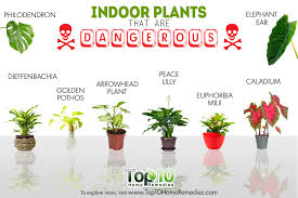 Extremely Poisonous House Plants 10 Indoor That Are And Dangerous Top Home