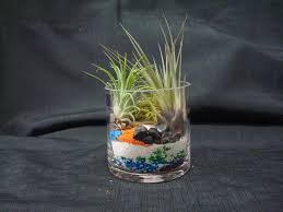 Tempting Mini Air Plant Terrarium And 3 Inch Cylinder 3 in Air Plants