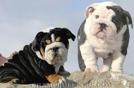 blue black english bulldogs akc blue bulldog akc black bulldog