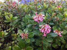 Shrubs For Summer And Fall Flowers  Flowering Shrubs  HGTVShrub With Pink Flowers