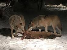 two gray wolves eating a white led deer