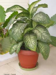 Common Indoor Plants : Indoor Houseplants Poisonous Be Sure To Visit  Gardenanswerscom With This Plant Is ...