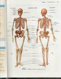 skeletal diagrams   diabetes inc skeletal system skeleton diagram