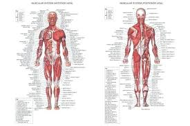Muscle Chart Template Fascinating Human Body Anatomical Chart Muscular System Poster Female Muscle