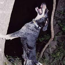 Bluetick Coonhound Size Chart Bluetick Coonhound Dog Breed Information