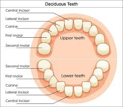 Dental Charts To Help You Understand The Tooth Numbering