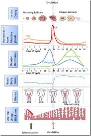 Standard Menstrual Cycle Chart Types Of Birth Control An Analysis Of Popular Methods And
