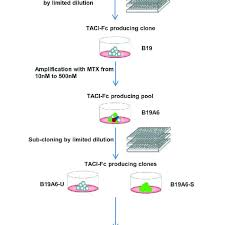 Flow Chart Of The Experimental Process Of Transfection