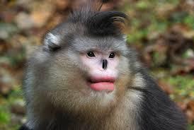 monkeys like full red lips too smart