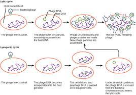 Lytic And Lysogenic Cycle Venn Diagram 21 2b The Lytic And Lysogenic Cycles Of Bacteriophages