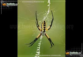 full sized image 2 of the black and yellow garden spider