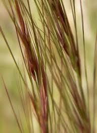 Aristide (plante) — Wikipédia