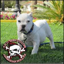 arizonas best king of bullys home to the best bred american bullys l exotic bullys l extreme bullys l short heavy pitbull terriers l english bulldogs