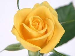 Yellow Rose Flower Wallpapers ...