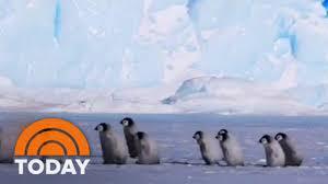 baby penguins. Delighful Penguins Penguins EmperorPenguin TodayShow On Baby Penguins H