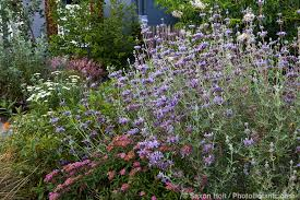 california native plants for the garden. Salvia Clevelandii (Cleveland Sage) Infront Yard With California Native Plants, Heath-Delaney Plants For The Garden