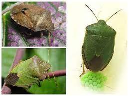 แมลงไม้สีเขียว, shitnik - ภาพคำอธิบายสิ่งที่พวกเขากินวิธีการกำจัด