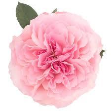 pink mayra garden rose in bulks