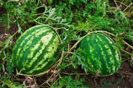 How To Plant Grow And Harvest Watermelon