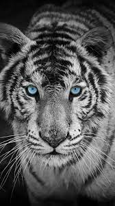Tiger Wallpaper Hd Download For Mobile ...