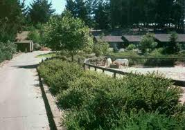 This 7 year old native plant garden was not watered. Arctostaphylos  purrisima in front .
