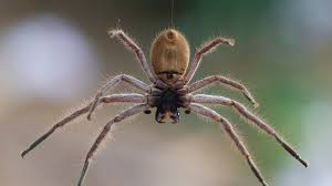 Australian House Spiders Chart The 10 Most Venomous Spiders In Australia