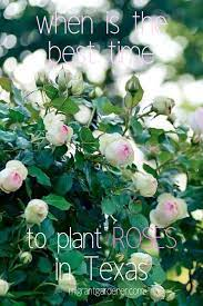 plant roses in texas