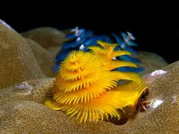 Christmas Tree Worm Psychedelic Frogfish 11 Strangest Looking Christmas Tree Worm Facts