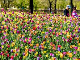 photo visitors walk through keukenhof gardens to see the colorful tulip fields arpil 17
