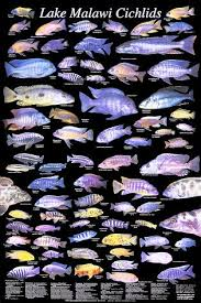 23 Posters Excellent Condition Cichlids Of Madagascar