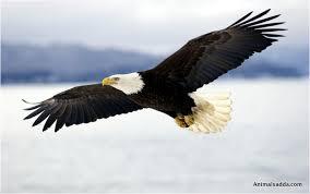 Small Picture Bald Eagle Interesting Facts Pictures Diet Habitat Behavior